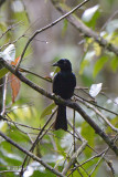 Drongo, Hair-crested @ PICOP
