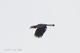 Hornbill, Writhed (female) @ PICOP