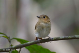 Flycatcher, Cryptic @ Eden Resort