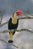 Hornbill, Writhed (male) @ Mt Apo