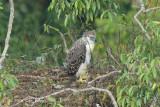 Eagle, Philippine (juvenile) @ Mt Apo