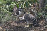 Eagle, Philippine (juvenile & adult) @ Mt Apo