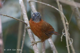 Babbler, Grey-headed