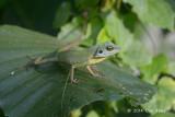Green Crested Lizard @ Ubin