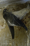 Swiftlet, Edible-Nest (nestling)