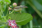 Sunbird, Brown-throated (female) @ Golf Link