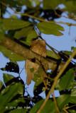 Frogmouth, Javan (female) @ Carita