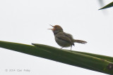 Tailorbird, Olive-backed @ Cibodas