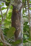 Malayan Flying Lemur (Colugo)