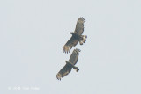 Buzzard, Oriental Honey (pair)