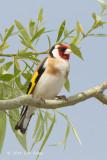 Goldfinch, European @ Neusiedl