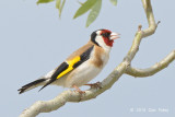 Goldfinch, European