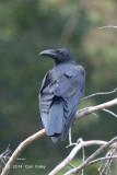 Crow, Large-billed @ Merapoh