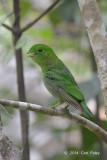 Broadbill, Green (juv) @ Merapoh