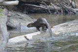 Otter, Smooth-coated @ Sungai Relau