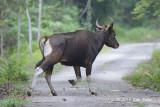 Banteng (bull) @ Merapoh