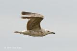 Gull, Yellow-legged @ Neusiedl, Austria