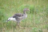 Goose, Greylag @ Neusiedl, Austria
