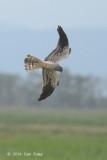 Harrier, Montagu's (male) @ Neusiedl, Austria