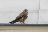 Kestrel, Common (male) @ Vienna, Austria