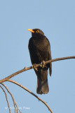 Blackbird @ Neusiedl, Hungary