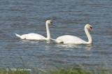 Swan, Mute @ Neusiedl, Hungary
