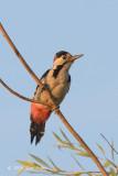 Woodpecker, Syrian (male) @ Neusiedl, Hungary