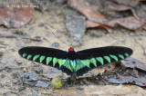 Rajah Brooke's Birdwing (male)