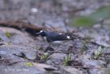 Forktail, Lesser (female) @ Halimun