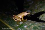 White-lipped Frog (Hylarana chalconota) @ Haliman