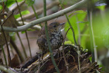 Babbler, Pygmy Wren @ Gede