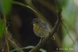 Flycatcher, Snowy-browed (juv male) @ Gede