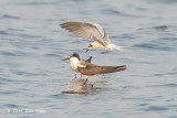 Tern, White-winged @ Straits of Singapore