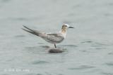 Tern, Aleutian (juv) @ Straits of Singapore