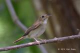Flycatcher, Brown-chested Jungle (adult) @ Bidadari