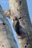Woodpecker, Grey-and-buff (male)