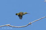 Spiderhunter, Yellow-eared @ Rifle Range Link