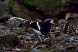 Forktail, Northern White-crowned @ Mae Wong