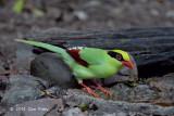 Magpie, Green @ Kaeng Krachan