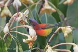 Sunbird, Mrs. Gould's (male) @ Doi Lang