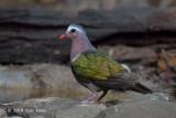 Dove, Emerald (male) @ Kaeng Krachan