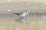 Redshank, Spotted @ Laem Pak Bia