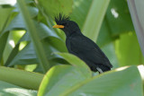 Myna, White-vented @ Eagle Point