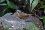 Babbler, Spot-necked