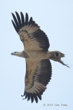 Eagle, White-bellied Sea @ Punggol Barat