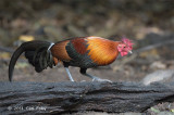 Junglefowl, Red (male) @ Kaeng Krachan