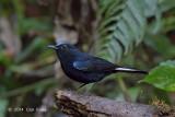 Robin, White-tailed (male) @ Mae Wong