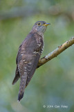 Cuckoo, Indian (female) @ Bidadari
