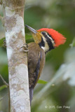 Woodpecker, Olive-backed (male)