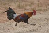 Junglefowl, Red (male)